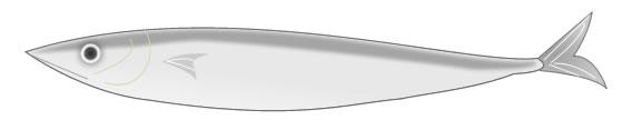 秋刀魚(サンマ)の英語